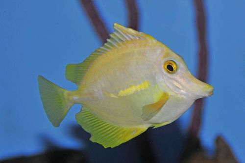 Atypical HLLE in a yellow tang
