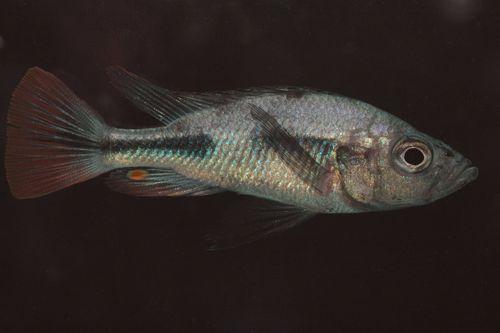 Piceatus 3 hemdal