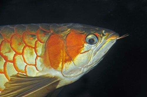 Hemdal Asian arowana droop eye