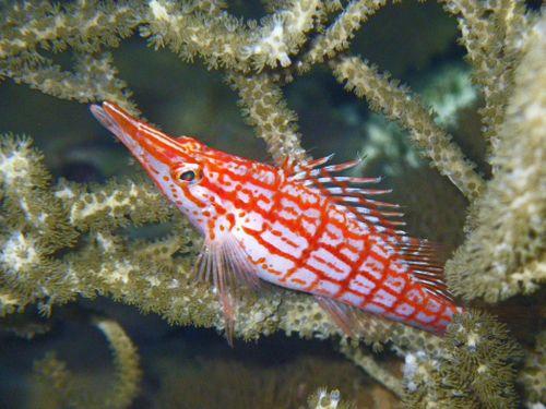 Longnose hawkfish in gorgonian