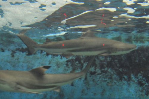 39 inch pacific blacktip reef shark