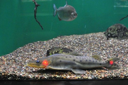 18 one half inch SA catfish