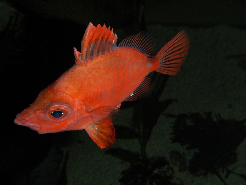Boarfish in tank shot 11-4-2011