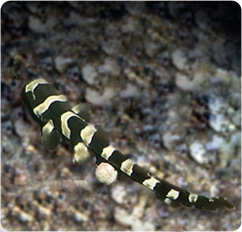 Banded Cat Shark, Mark Marin Collection