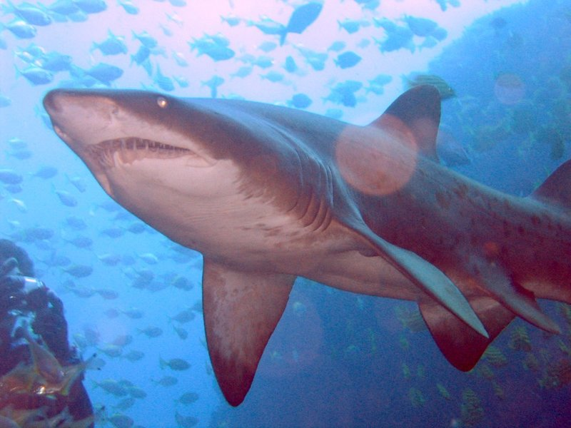 Sand Tiger Shark (<em>Carcharias taurus</em>) by Richard Ling 2005